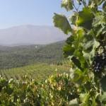 vineyards-naousa-greece